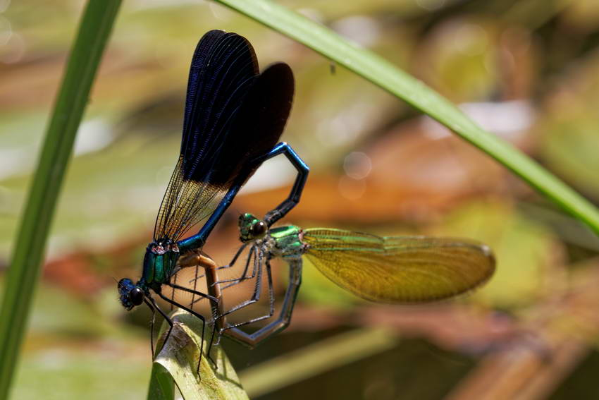 Comment photographier libellules