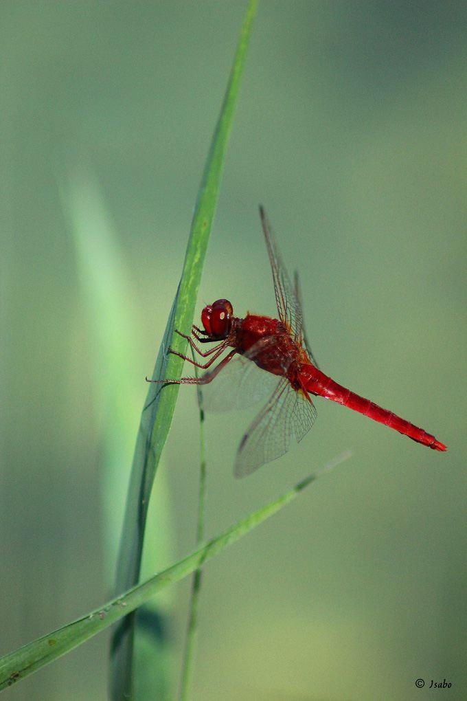 Concours Photo - Rouge - libellule par Isabo