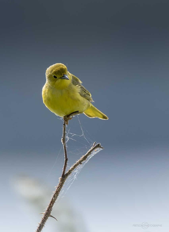 Concours Photo - Oiseaux - Non, je ne suis pas un canari ! par ChristianF