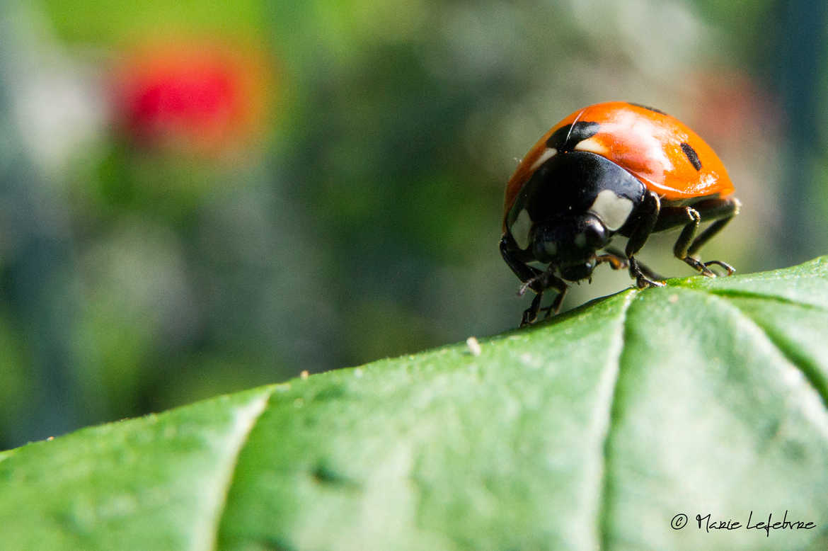 Madame Coccinel