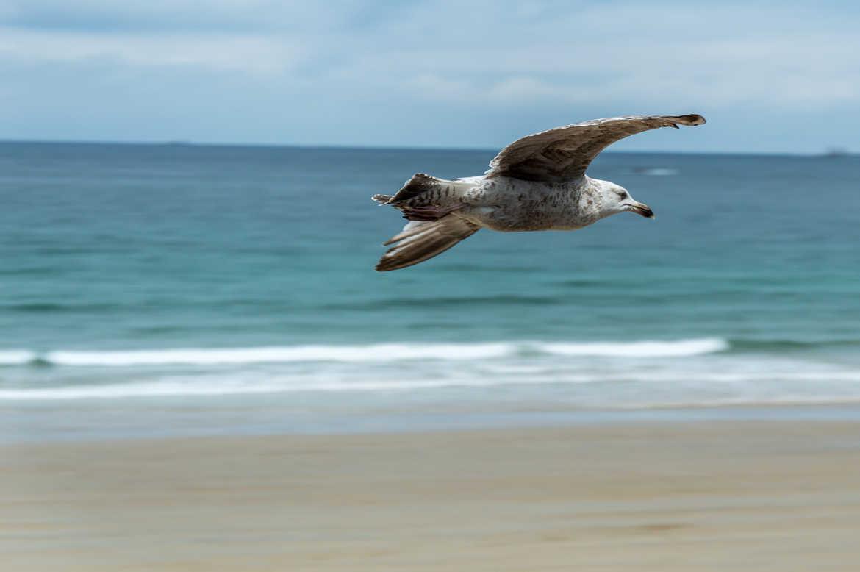 Concours Photo - Oiseaux - Goéland Grande Vitesse par Toto77
