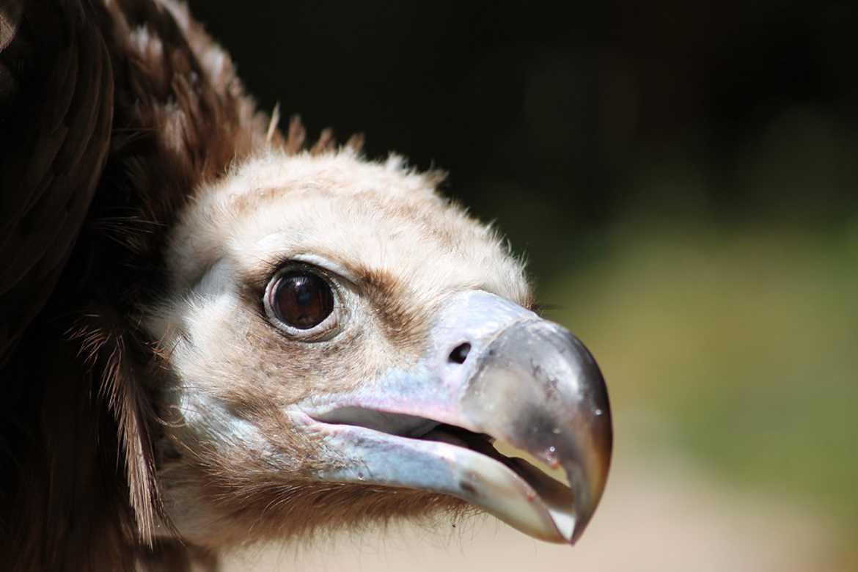 Concours Photo - Oiseaux - vautour par Caipei