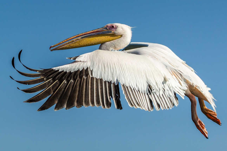 Concours Photo - Oiseaux - Pélican par gustiti