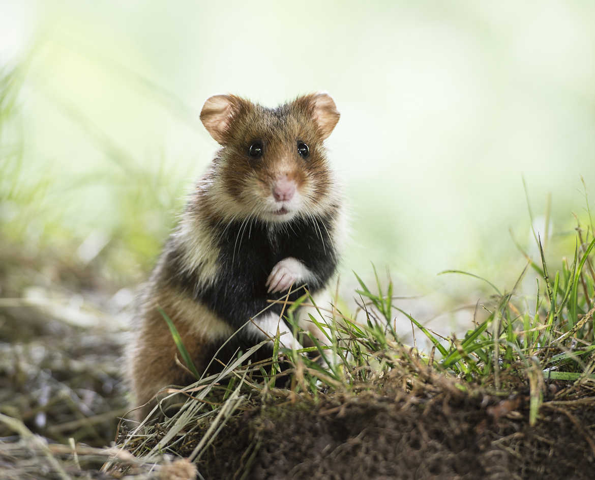 Le Grand Hamster d'Alsace