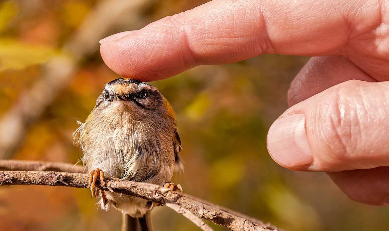 Concours Photo - Oiseaux - Roitelet triple bandeau par jctphoto