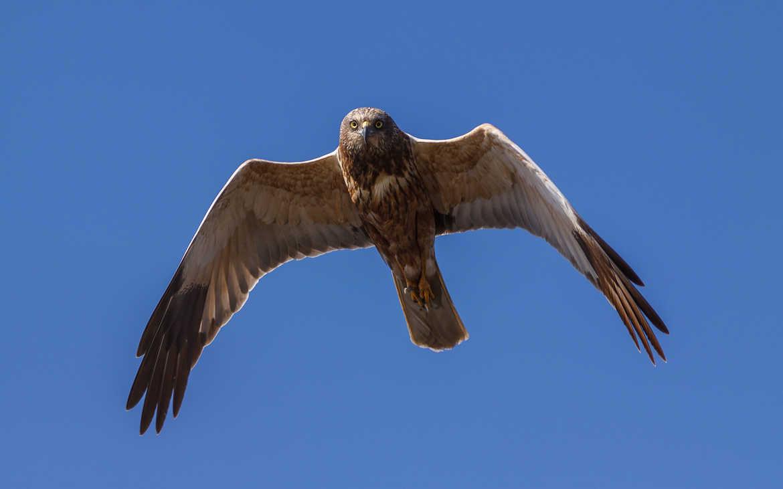 Concours Photo - Oiseaux - Busard des Roseaux sauvage de Corse par Jean-Christophe Moracchini