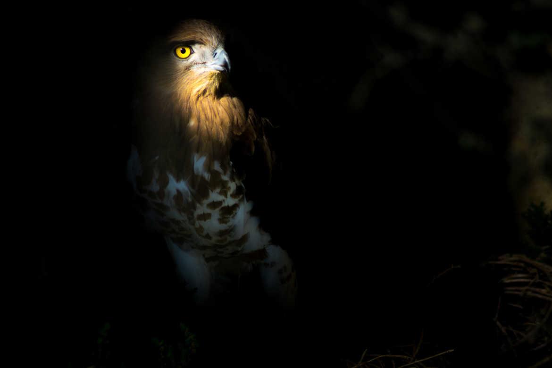 Concours Photo - Oiseaux - Circaète Jean-le-Blanc par Laurent1076