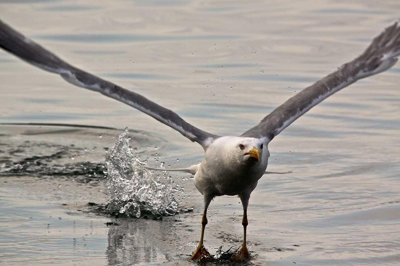 Concours Photo - Oiseaux - décollage par Jnjolicoeur