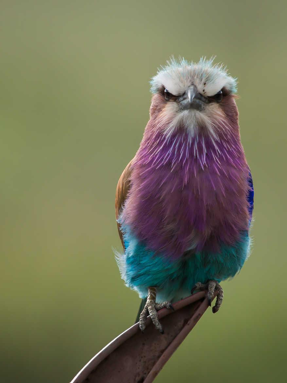 Concours Photo - Oiseaux - Rollier par Sylvielalanne