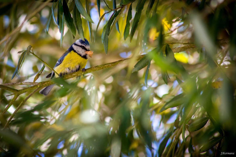 Concours Photo - Oiseaux - Mésange bleue par kermarec
