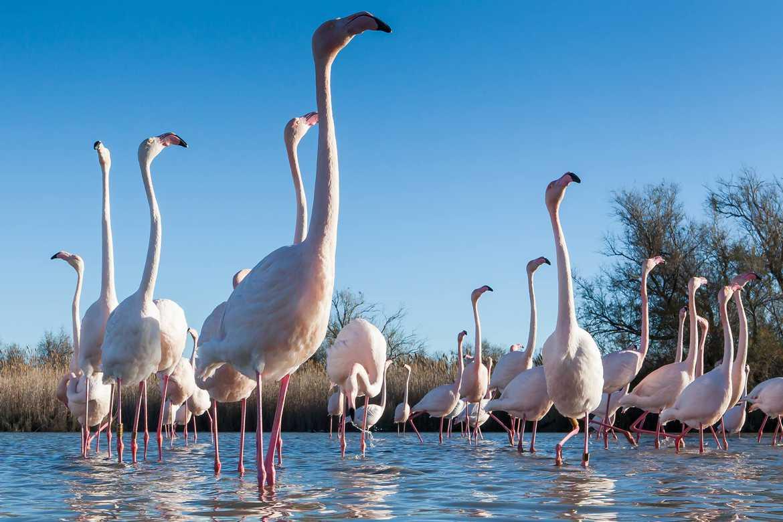 Concours Photo - Oiseaux - la danse des flamands par dougie30
