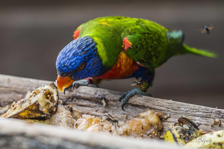 Concours Photo - Oiseaux - Loriquet à tête bleu et ses moustiques par photo_rom
