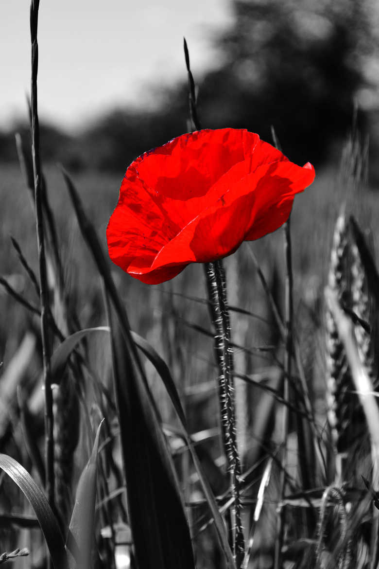 L'impossible coquelicot