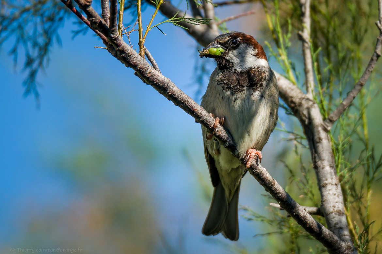 Concours Photo - Oiseaux - Moineau cisalpin par Jeppesen