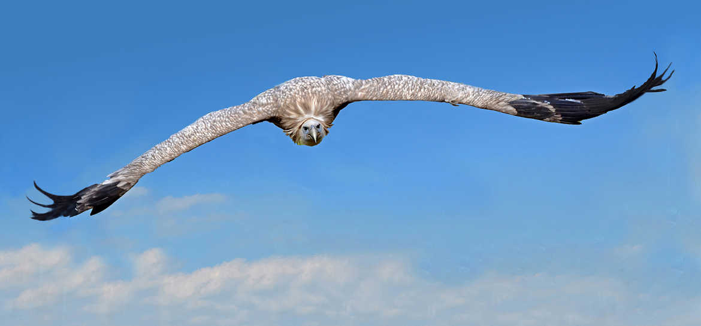 Concours Photo - Oiseaux - Vautour à l'approche. par Aurimec