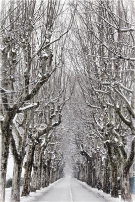 les platanes et l'hiver
