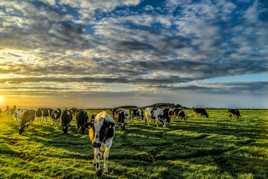 Vaches Halées