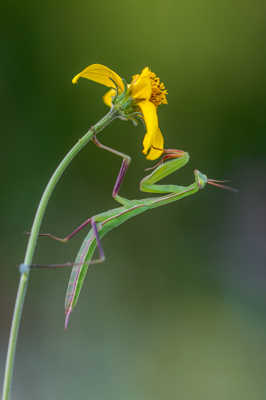 La mante religieuse et la fleur