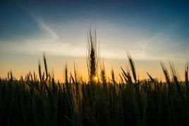 Couché de soleil à travers un champ de blé