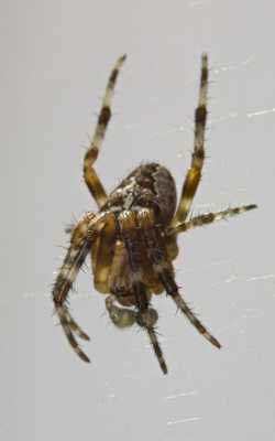 Araignée velue