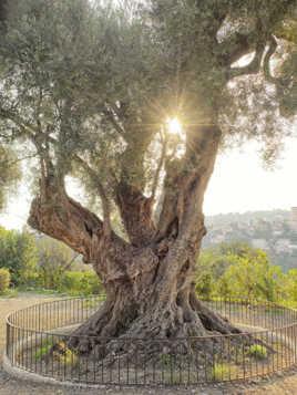 L'olivier millénaire