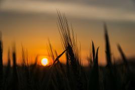 Couché de soleil sur le blé