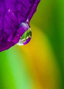 Larme d'iris