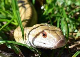 Florida Snake