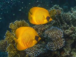 Un duo de poisson papillon