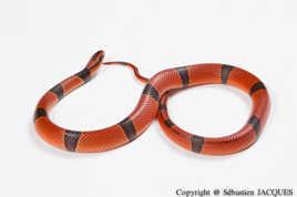 Infiniment Reptile
