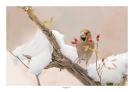 Gros-bec-casse-noyaux dans la neige