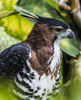 Aigle orné de Guyane