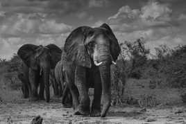 Géants d'Afrique