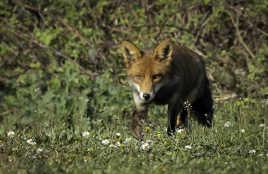 Maitre renard aux aguets