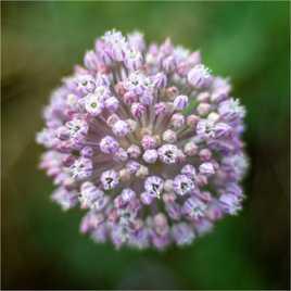 Fleur d'aïl des champs...