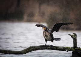 Cormoran sous la pluie