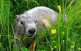 Une marmotte peu farouche.
