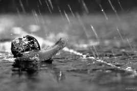 Petit gris sous la pluie