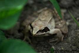 la grenouille du potager