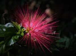 Fleur d'artifice