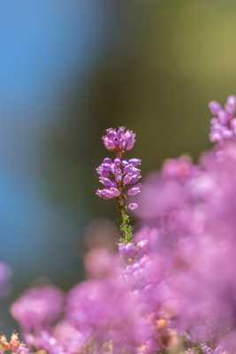 Fleur de bruyère