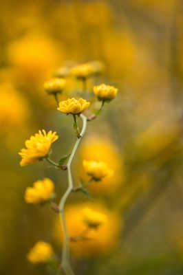 Printemps jaune