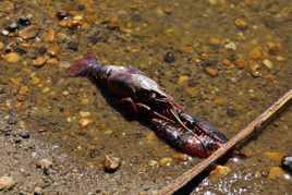 Une carcasse d'écrevisse sur les bords du Lac de Grand Lieu