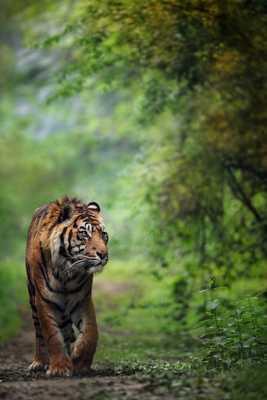 Sumatra Tiger ...