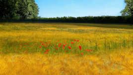 Un champ de blé avec les coquelicots