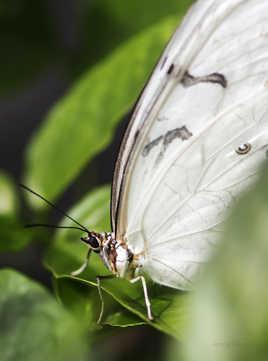 Morpho blanc