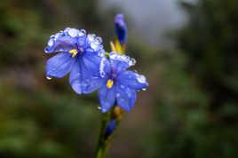 Fleur bleue à goutellettes
