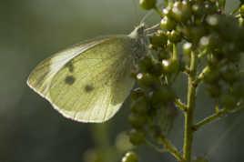 Papillon-vedette sous les sunlights