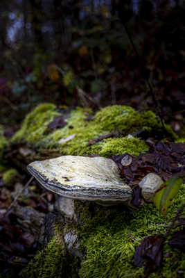 Champignon du bois