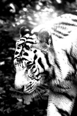 Songe d'un tigre